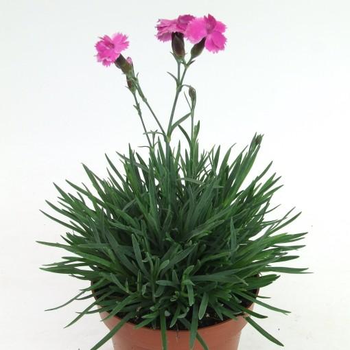 Dianthus gratianopolitanus 'Dinetta' (Kwekerij Scholte)