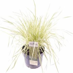 Molinia caerulea 'Variegata' (Hoogeveen Plants)