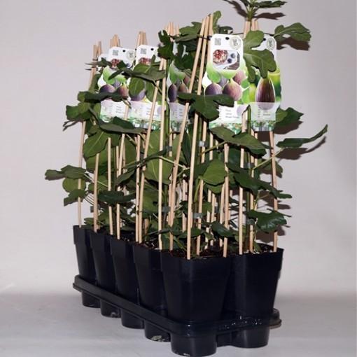Ficus carica MIX (BOGREEN Outdoor Plants)