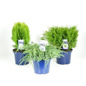 Conifers MIX (Kwekerij Vredebest)