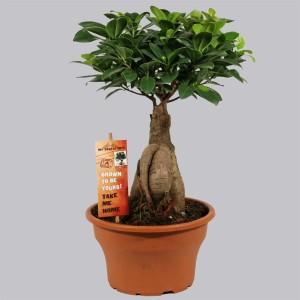 Ficus microcarpa 'Ginseng' (Kwekerij Duijn-Hove B.V.)