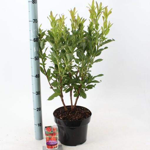 Rhododendron 'Satan' (About Plants Zundert BV)