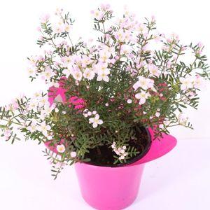 Boronia anemonifolia 'Pink Star'