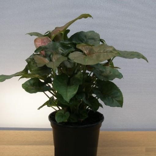Syngonium podophyllum (Gasa DK)