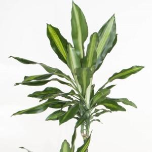 Dracaena fragrans CINTHO