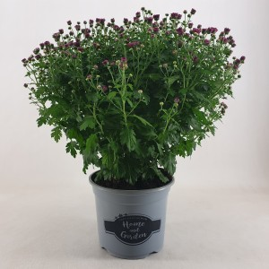 Chrysanthemum 'Jasoda Mauve'