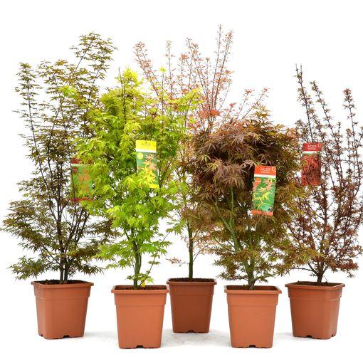 Acer palmatum MIX (Son & Koot BV)