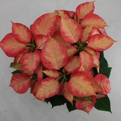 Euphorbia pulcherrima PREMIUM ICE CRYSTAL (Bas van der Wilt)