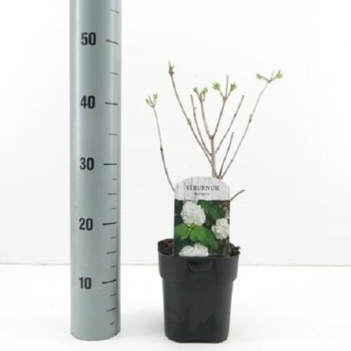Viburnum opulus 'Roseum' (Hooftman boomkwekerij)