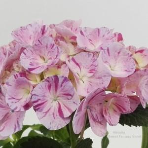 Hydrangea macrophylla HOVARIA SWEET FANTASY VIOLET