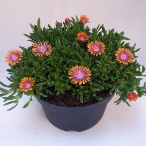 Delosperma JEWEL OF DESERT MIX (Kwekerij de Noordpoel)