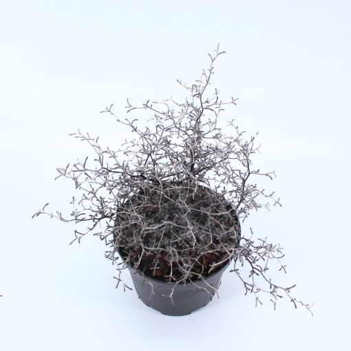 Corokia cotoneaster (About Plants Zundert BV)