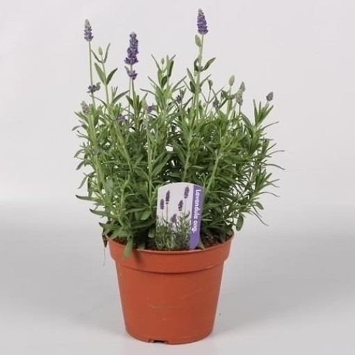 Lavandula angustifolia LAVANCE PURPLE (Endhoven Flowering Plants)
