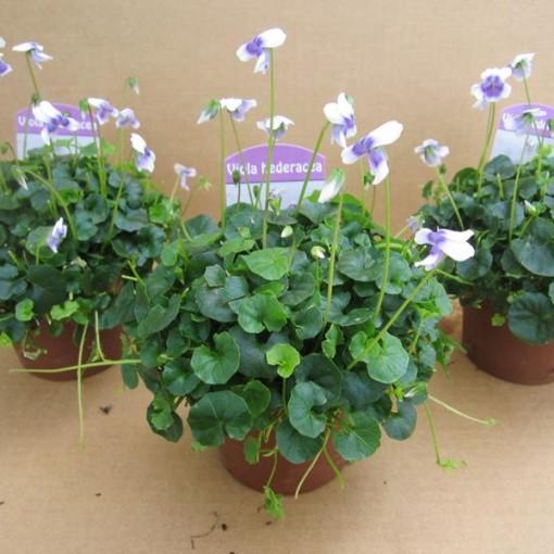 Viola hederacea (Gasa DK)