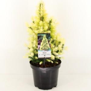Picea glauca 'Daisy's White' (Bremmer Boomkwekerijen)