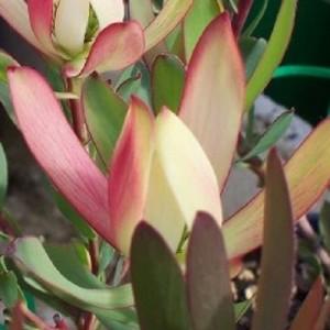Leucadendron 'Senorita'