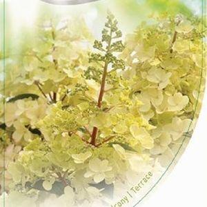 Hydrangea paniculata CANDLELIGHT (Dool Botanic)