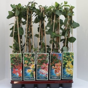 Lonicera MIX
