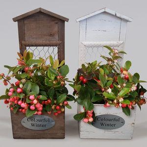 Gaultheria procumbens WINTER PEARLS BIG BERRY