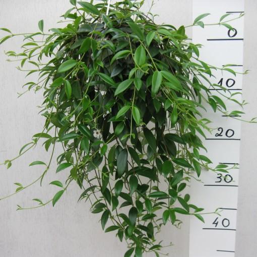 Codonanthe crassifolia (Meyst Werner, De)