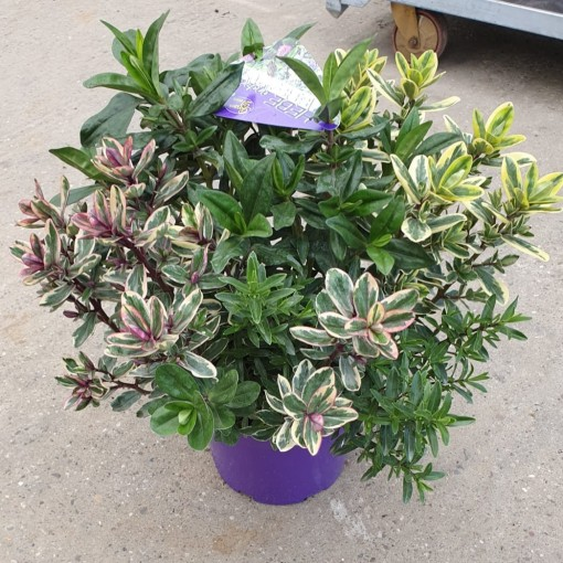 Hebe MIX IN POT (Experts in Green)