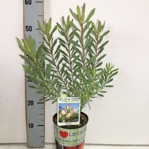 Leucadendron salignum 'Highlights'
