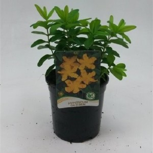 Hypericum callinum