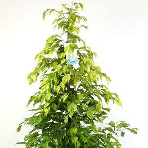 Ficus benjamina 'Reginald'