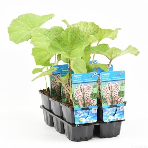Petasites hybridus (Moerings Waterplanten)