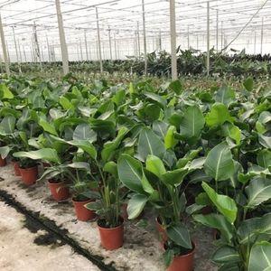 Strelitzia nicolai (Van der Arend Tropical Plantcenter)