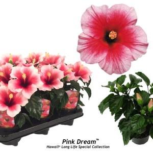 Hibiscus rosa-sinensis 'Pink Dream'