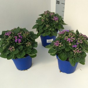 Ageratum houstonianum ARTIST BASSO BLUE (Experts in Green)