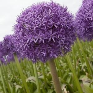 Allium 'Globemaster' (Amstelzicht BV)