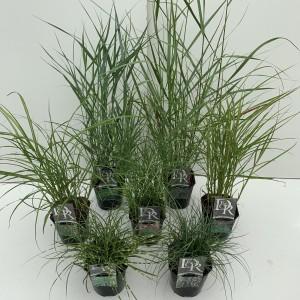 Grasses  MIX (Cammeraat Potcultuur)
