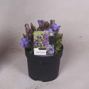Gentiana scabra ROCKY DIAMOND BLUE ETERNITY