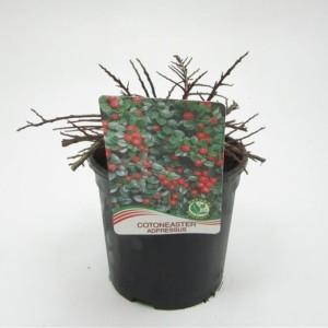 Cotoneaster adpressus (WTM de Boer)