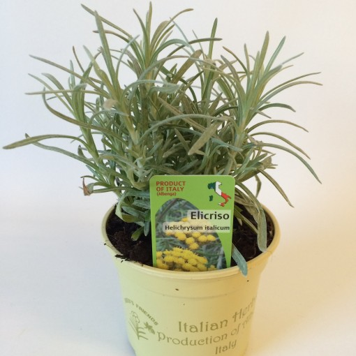 Helichrysum italicum (Green Collect Sales)