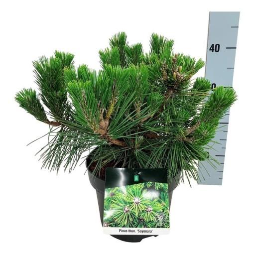 Pinus thunbergii 'Sayonara' (Boomkamp Boomkwekerijen B.V.)