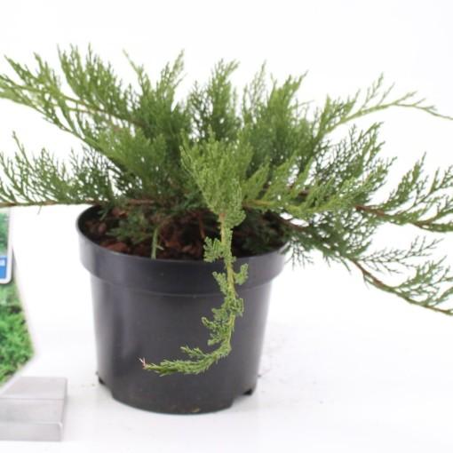 Juniperus sabina 'Tamariscifolia' (About Plants Zundert BV)