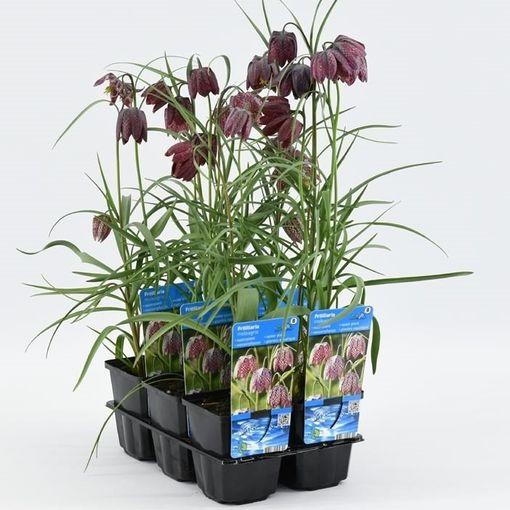 Fritillaria meleagris (Moerings Waterplanten)