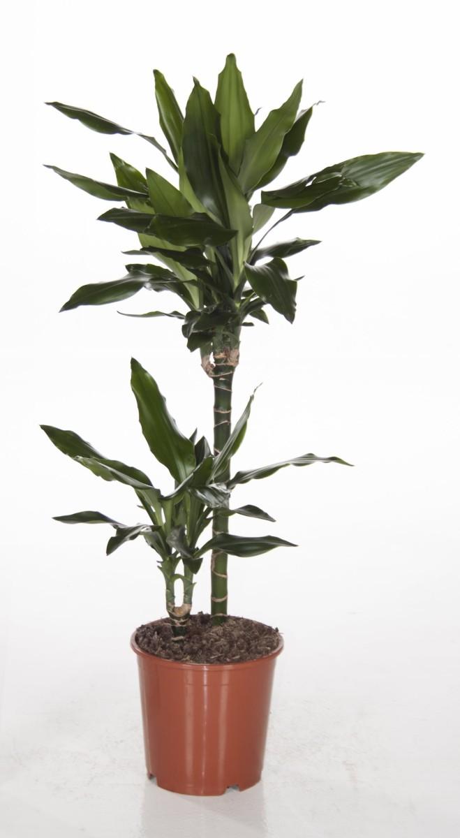 dracaena fragrans 39 janet lind 39 p19cm h100cm floraccess. Black Bedroom Furniture Sets. Home Design Ideas