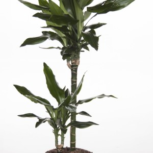 Dracaena fragrans 'Janet Lind'