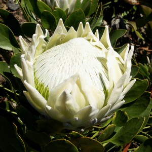 Protea 'White King'