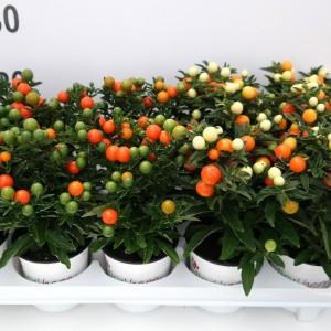 Solanum pseudocapsicum 'Apollo'