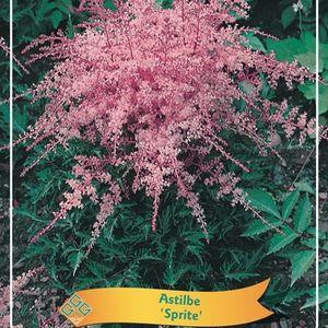 Astilbe MIX (Griffioen, Gebr.)
