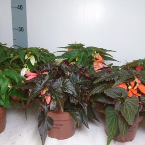 Begonia SUMMERWINGS MIX