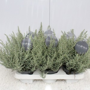 Olearia 'Silveria' (Experts in Green)