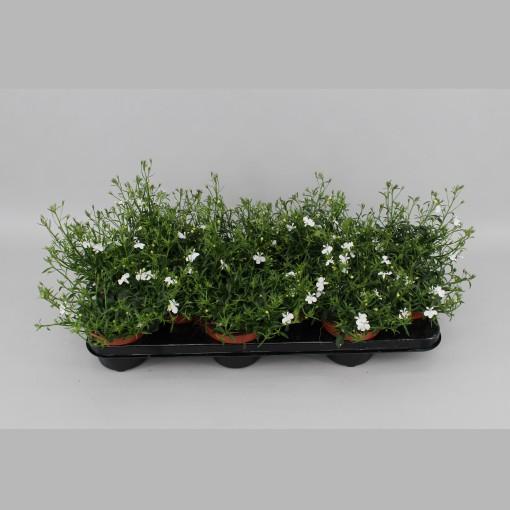 Argyranthemum frutescens LA RITA WHITE (Gebr. Grootscholten)
