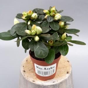Rhododendron 'Fabienne'