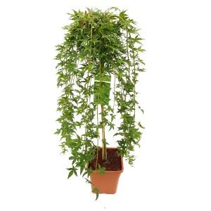 Acer palmatum 'Ryusen' (Son & Koot BV)